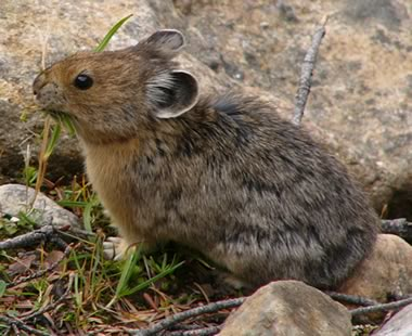 Pika models and climate change
