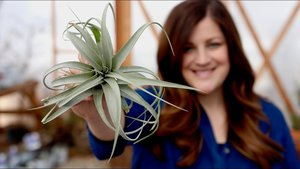 Air Plants – No Soil Needed