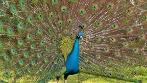 A Peacock's Tail